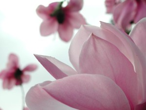 magnolia-flower-full-hd-picture-free-nature-wide-free-wallpaper